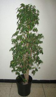 Zimmerpflanze Ficus Benjamin,