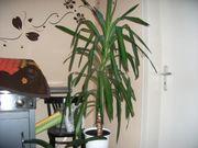 Talerbaum, , Yucca, Drachenbaum,