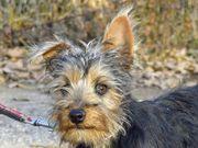 SAMU, Yorkshire Terrier