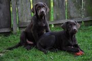 Labradorwelpen Optimale Familienhunde