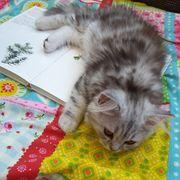 BKH Brittisch Kurzhaar Kitten