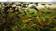 Aquarienfische-Warmwasser von Hobbyzüchter jeder Fisch