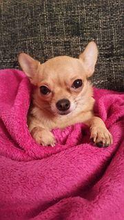 Suche mini Chihuahua-Deckrüden -- Raum