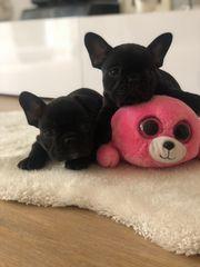 Französische Bulldoggen in schwarz