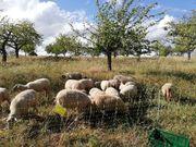 Schafe zum verkaufen