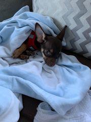 Junge Chihuahua Hündin