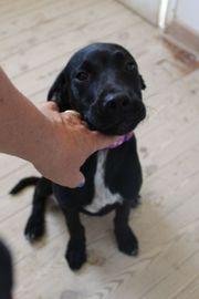 Lucille, Labrador Mischlings