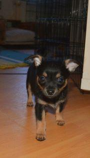 Aurora Chihuahua Welpe,