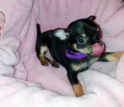 Chihuahua Welpen reinrassig