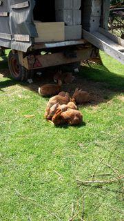 Kaninchen Stallhasen