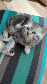 BKH Kitten, Britisch