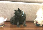 Französische Bulldoggen Welpen der neuen