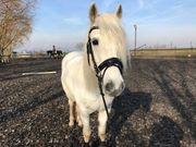 Freundliches Camargue Pferd