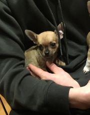 bildschöner Chihuahua Welpe
