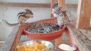 Junge Streifenhörnchen