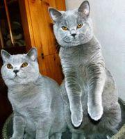 Süße Britisch Kurzhaar Kätzchen mit