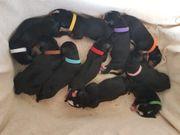 reinrassige große Schweizer Sennenhund Wurfplanung