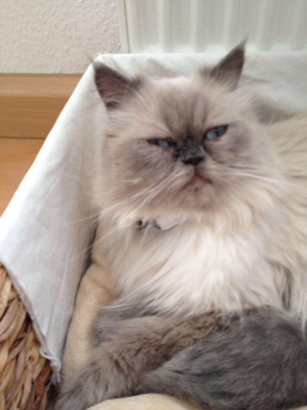 Perser Katze In Bad Vilbel Katzen Kaufen Und Verkaufen