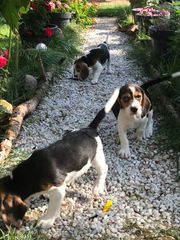 Reinrassige Beagle Welpen abgabebereit