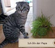 BKH Fold-Kitten Abgabebereit