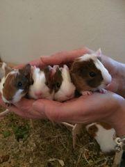 Meerschweinchen Babys MEerschweinchenbabys glatthaar