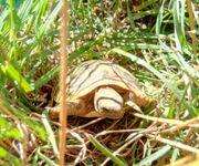 Griechische Landschildkröten Nachzucht 2018 Testudo-hermanni-boettgeri