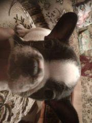 Welpen, Französische-Bulldogge
