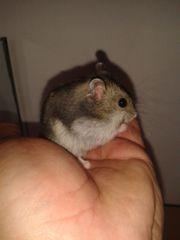 Hamster / Zwerghamster Nachwuchs