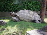 Riesenschildkröten Spornschildkröten Schildkröten Geochelone sulcata