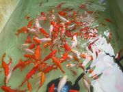 Jumbo Goldfische Schleierschwänze ca 10 -