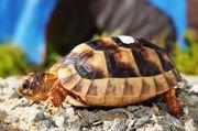 Breitrand-Schildkröte Zwergform,