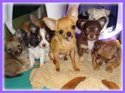 Hübsche Chihuahua Welpen &