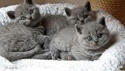 Bkh Kitten vom Züchter Blue