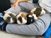 5 liebevolle Meerschweinchen