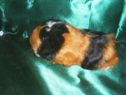 junge meerschweinchen weiblich
