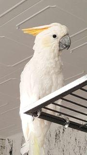 Orange Kakadu Weiblich gesucht