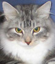 Verspielte Sibirische Katzenkinder