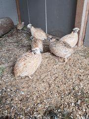 Wachtel Eier