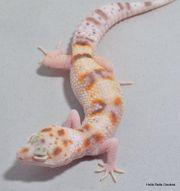 Leopardgecko WY Bell Weibchen ID18W10