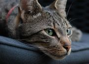 uropean shorthair Katzenbaby Susi and