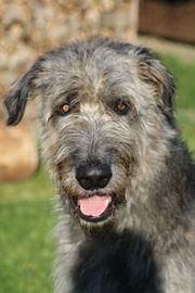 Irish Wolfhound Deckrüde