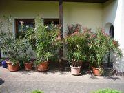 Oleander 180 cm