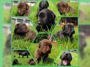 Labrador Welpen zu verkaufen männlich