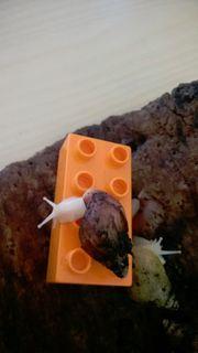 Achatschnecken zu verschenken -