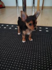 Mini-Toy-Terrier-Mix Welpe