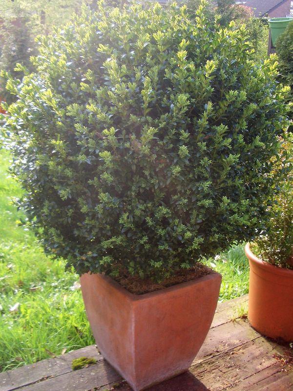 Grosse Buchsbaumkugel n in Terracotta-Topf