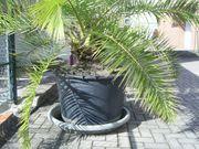 Palme im Pflanzkübel