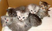 Katzenbaby Scottish Fold