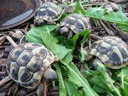 Griechische Landschildkröten-Babys