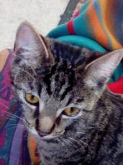 Getigerte Katze 9 Monate alt